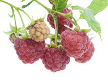 Ripe and unripe raspberry postcard Stock Image