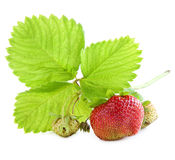 Ripe and unripe strawberries . Royalty Free Stock Image
