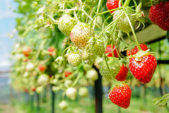 Ripe and unripe strawberries. Waiting to be harvested Stock Photos