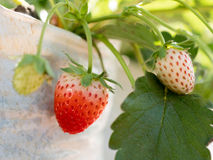 Ripe and unripe strawberries growing on farm. Closeup ripe and unripe strawberries growing on farm Royalty Free Stock Photo