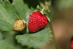 Ripe and unripe strawberries. Stock Photo