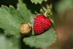 Ripe and unripe strawberries. Ripe and unripe strawberries Stock Photo