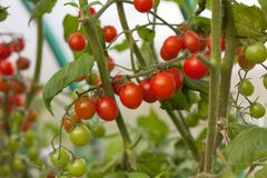 Ripe and unripe tomato on a branch. Horizontal Stock Image