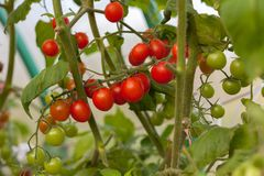 Ripe and unripe tomato on a branch. Horizontal Royalty Free Stock Photo