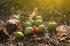 Ripe and Unripe Tomatoes in Autunum Garden royalty free stock image