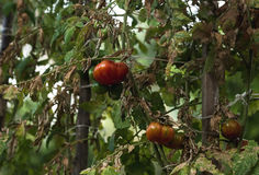 Ripe and unripe tomatoes on branches in vegetable garden royalty free stock photo