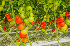 Ripe and unripe truss tomatoes Royalty Free Stock Image