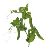 Ripe vegetable pea pods on the stalk. Isolate Stock Photography