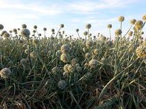 Onion Seed Crop Stock Photos