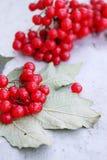Ripe viburnum Stock Image