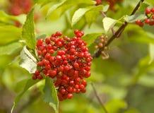 Ripe viburnum. Ripe red berries of viburnum on a green branch Royalty Free Stock Photo