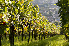 Ripe vines in vineyard Royalty Free Stock Photos