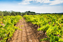 Free Ripe Vineyard Royalty Free Stock Image - 60108706