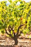 Ripe vineyard royalty free stock photos