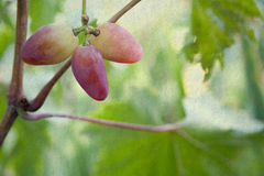 Ripe violet grapes fruit. old paper textured backgrouns Stock Photos