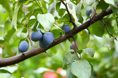 Ripe violet plum on branch Royalty Free Stock Photo