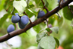 Ripe violet plum on branch Stock Photos