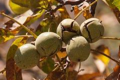 Ripe walnut husks Royalty Free Stock Photo