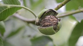 Walnut in open shell. Ripe walnut inside cracked green shell on tree branch ready to go by late summer stock footage