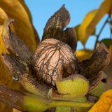 Ripe walnut nut on tree Stock Photo