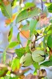Ripe walnut in opened shell Stock Image