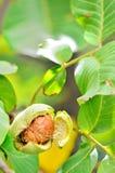 Ripe walnut Royalty Free Stock Photo