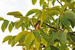 Ripe walnut on tree Stock Photos