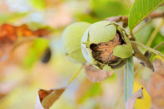 Ripe walnut Royalty Free Stock Images