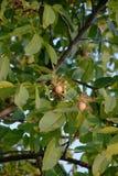 Ripe walnut on tree Stock Photo