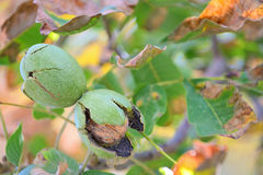 Ripe walnut on a tree Stock Photos