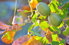 Ripe walnut on a tree Royalty Free Stock Photo