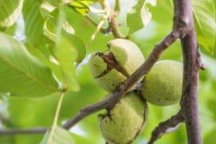 Ripe walnuts branch Stock Photos