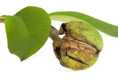 Ripe walnuts in a green shell Stock Photography