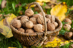 Ripe walnuts Royalty Free Stock Image