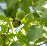 Ripe walnuts on the tree Royalty Free Stock Image