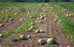 Ripe water-melons Stock Photos