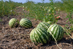 Ripe water-melons Stock Images