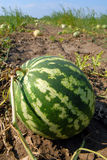 Ripe water-melons Stock Photo