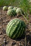 Ripe water-melons Royalty Free Stock Images