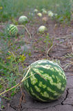 Ripe water-melons Stock Image