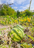 Ripe watermelon in organic farm on a beautiful sunny day Stock Photography