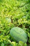 Ripe watermelons Stock Photos