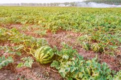 Ripe Watermelons On The Field Stock Images