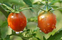 Ripe Wet Tomatoes On Plant Stock Photography