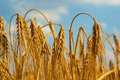 Ripe wheat. Ripe hanging wheat, in the end of summer its time for the harvest Stock Images