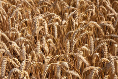 Ripe wheat. Close up of ripe wheat, the Netherlands stock image