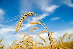 Free Ripe Wheat Stock Image - 10531301