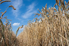 Ripe wheat. Against a blue sky, the Netherlands royalty free stock image