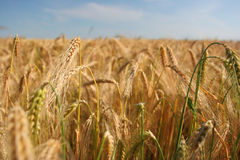 Ripe wheat. A field of ripened wheat Stock Images