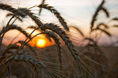 Ripe wheat. At sunset with sun. south Ukraine royalty free stock photo